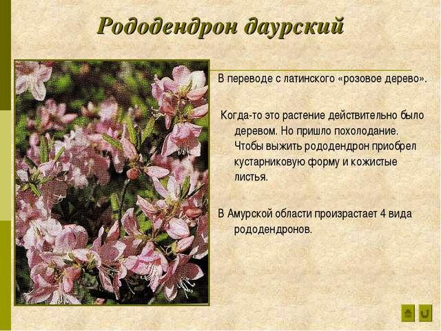 Рододендрон даурский В переводе с латинского «розовое дерево». Когда-то это р...