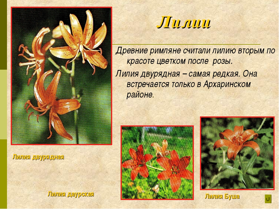 Лилии Древние римляне считали лилию вторым по красоте цветком после розы. Ли...