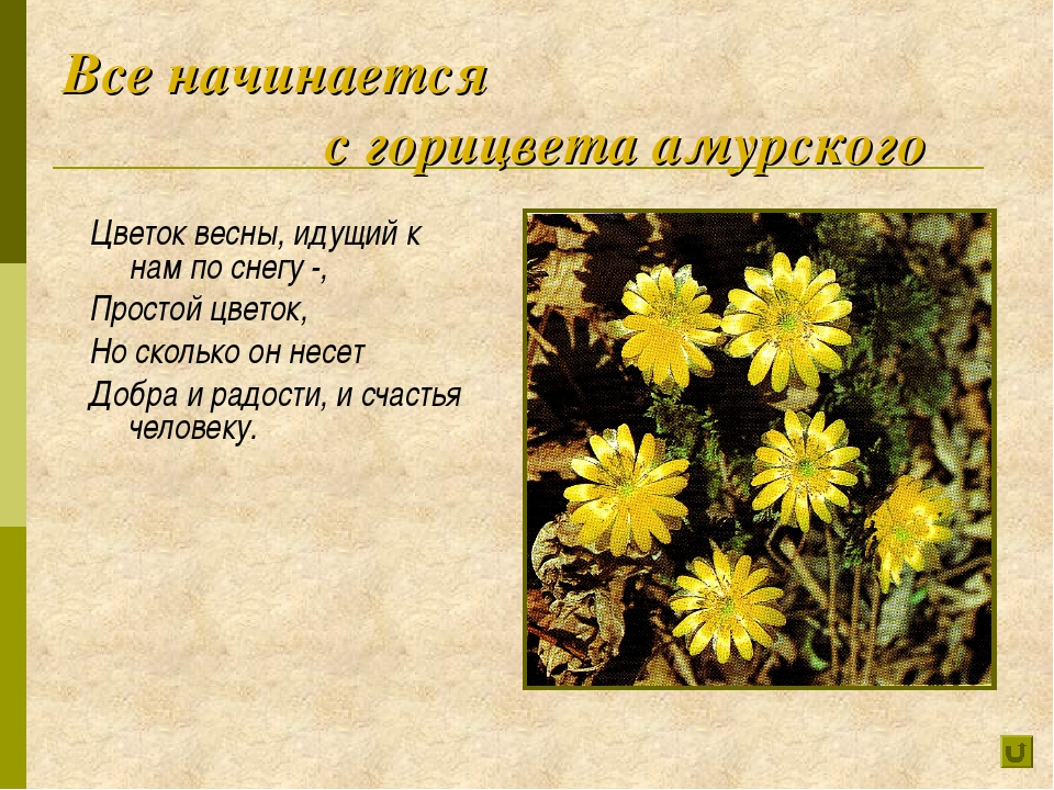 Все начинается с горицвета амурского Цветок весны, идущий к нам по снегу -,...