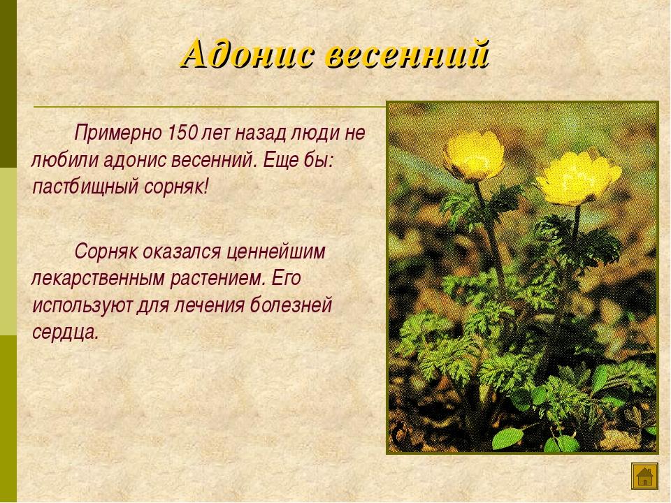 Адонис весенний Примерно 150 лет назад люди не любили адонис весенний. Еще...