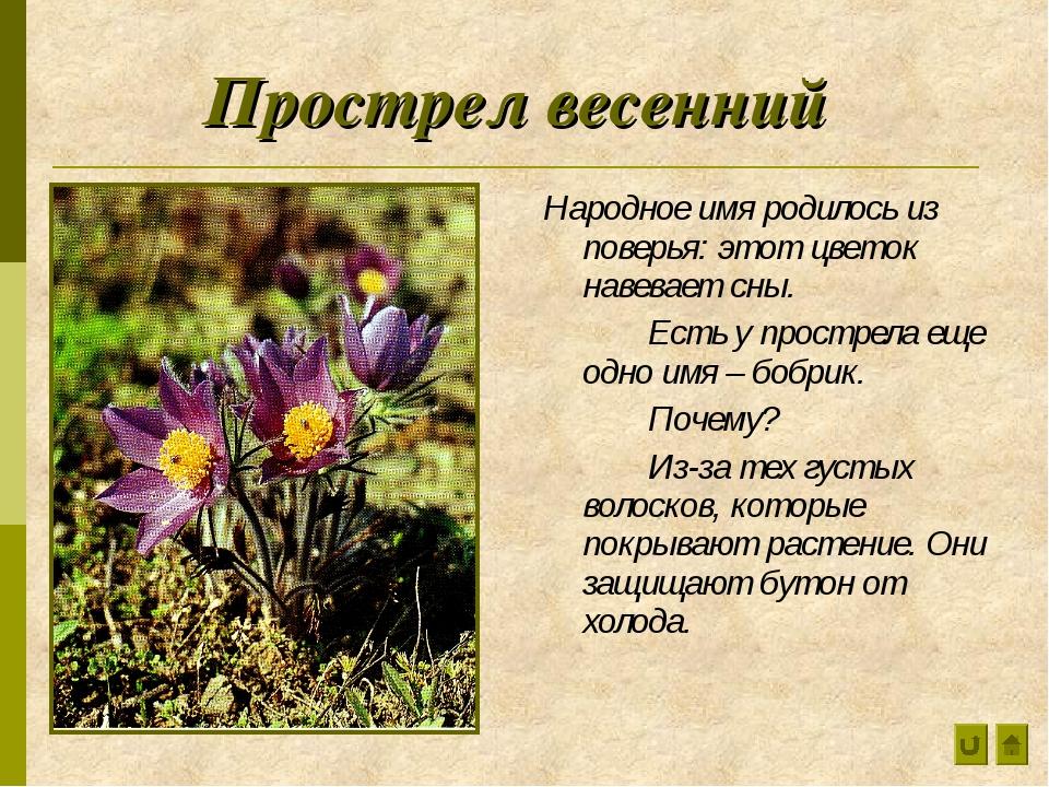 Прострел весенний Народное имя родилось из поверья: этот цветок навевает сны....