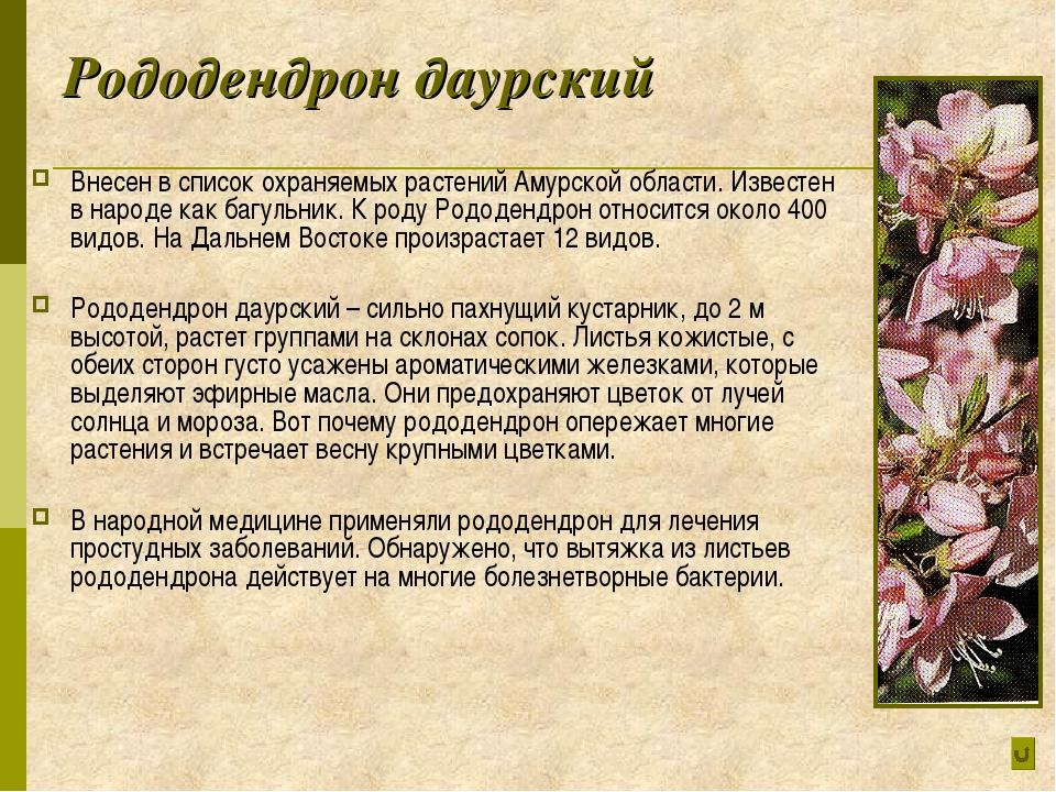 Рододендрон даурский Внесен в список охраняемых растений Амурской области. Из...