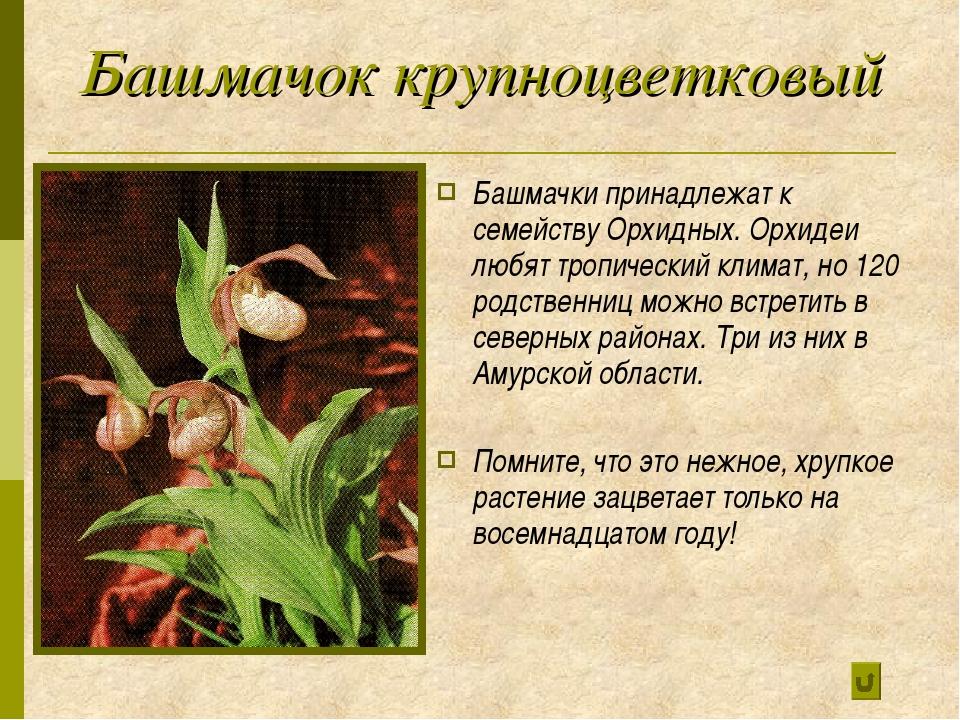 Башмачок крупноцветковый Башмачки принадлежат к семейству Орхидных. Орхидеи л...