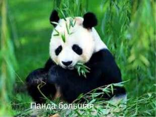 Панда большая