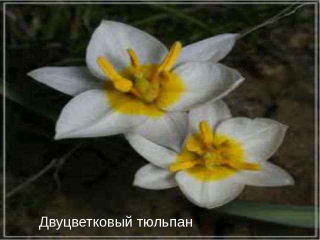 Двуцветковый тюльпан