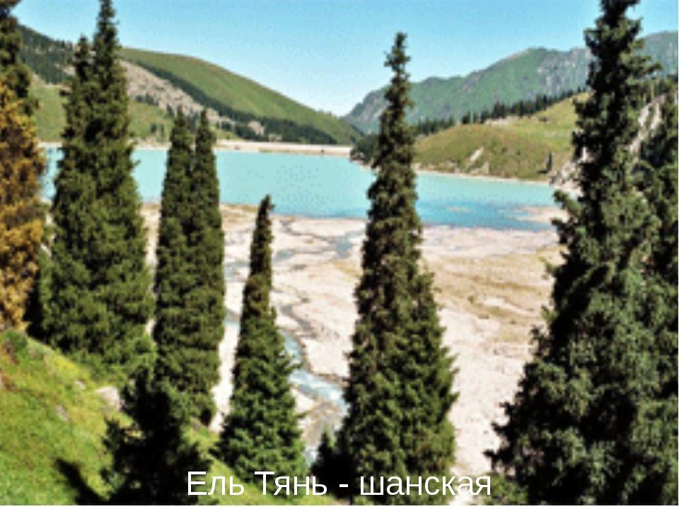 Ель Тянь - шанская