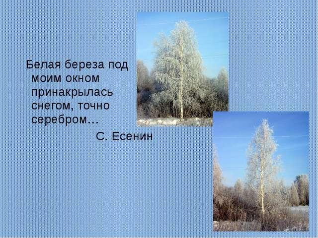 Белая береза под моим окном принакрылась снегом, точно серебром… С. Есенин