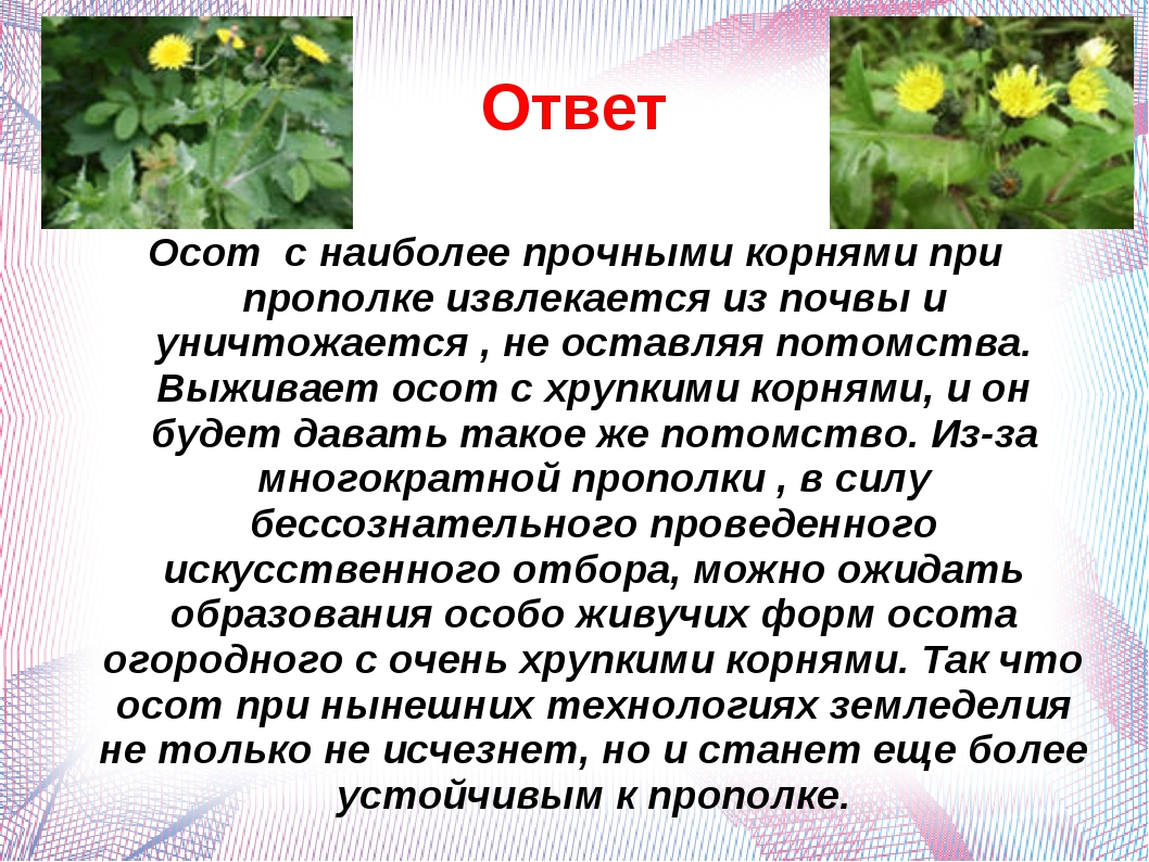 Ответ Осот с наиболее прочными корнями при прополке извлекается из почвы и ун...