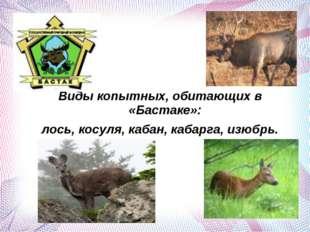Виды копытных, обитающих в «Бастаке»: лось, косуля, кабан, кабарга, изюбрь.