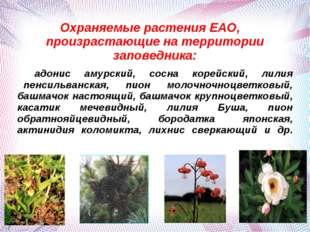Охраняемые растения ЕАО, произрастающие на территории заповедника: адонис аму