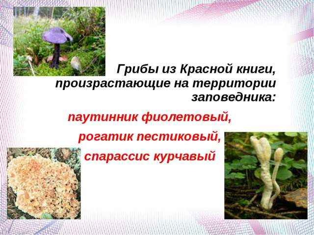 Грибы из Красной книги, произрастающие на территории заповедника: паутинник ф...