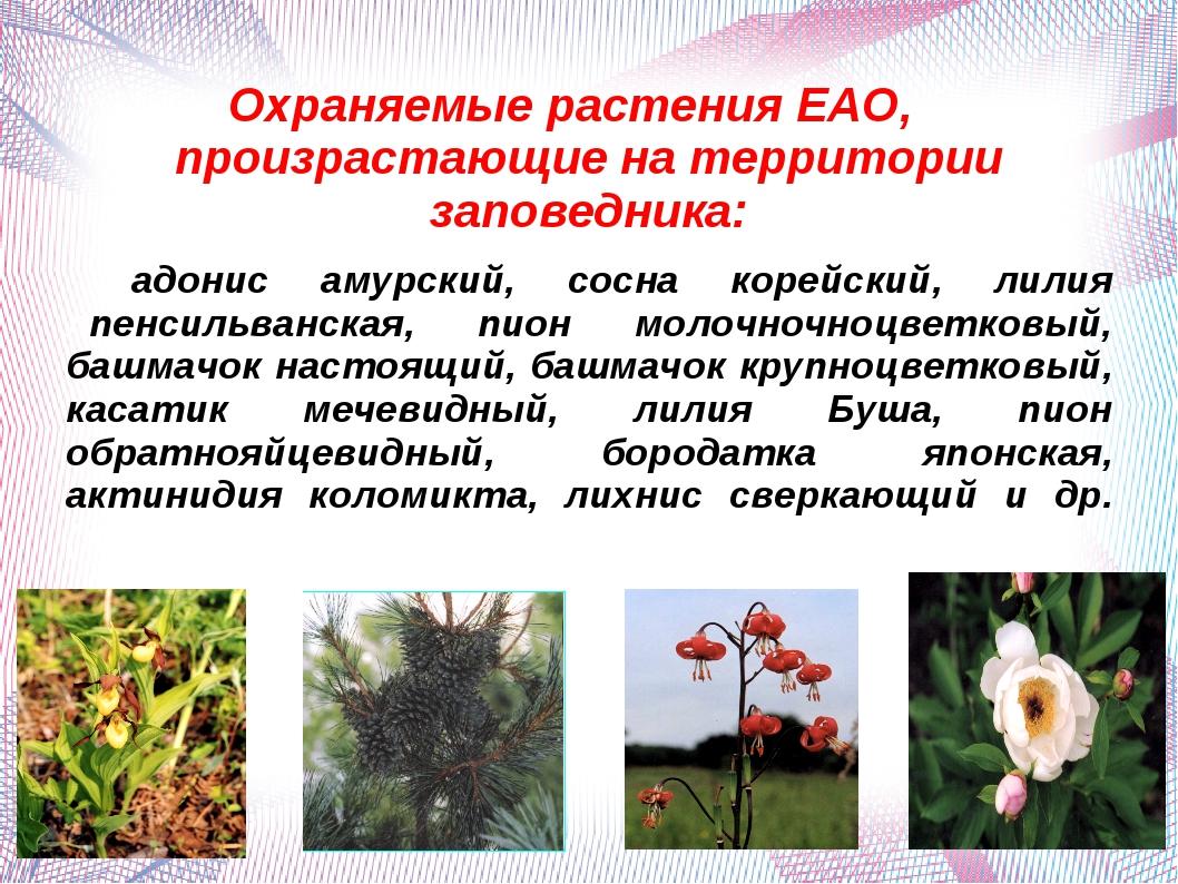 Охраняемые растения ЕАО, произрастающие на территории заповедника: адонис аму...