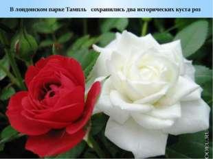 В лондонском парке Тампль сохранились два исторических куста роз