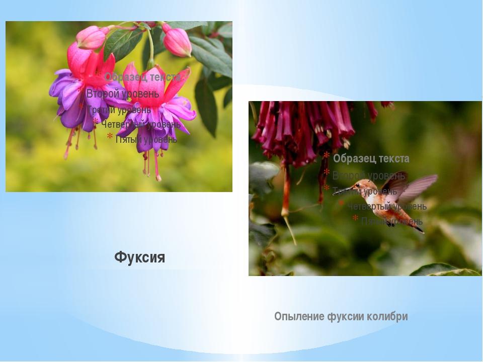 Фуксия Опыление фуксии колибри