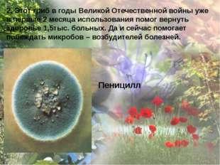2. Этот гриб в годы Великой Отечественной войны уже в первые 2 месяца использ
