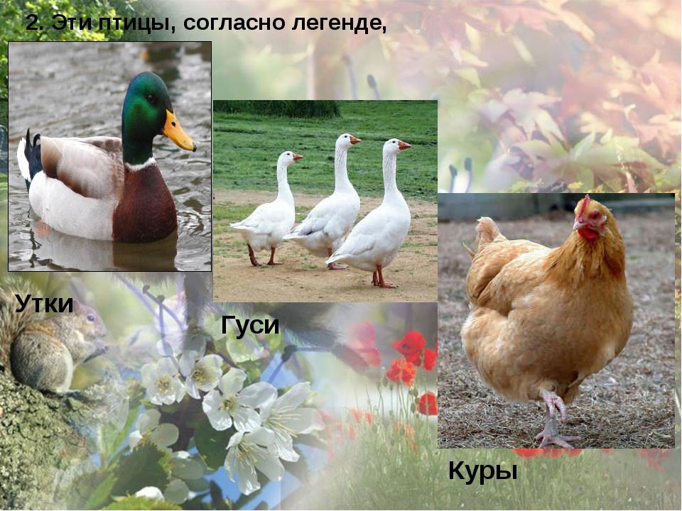 2. Эти птицы, согласно легенде, спасли Рим. Утки Гуси Куры
