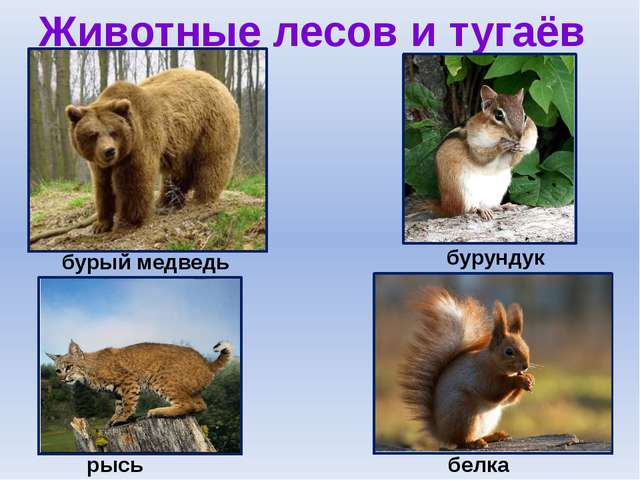 Животные лесов и тугаёв бурый медведь бурундук белка рысь