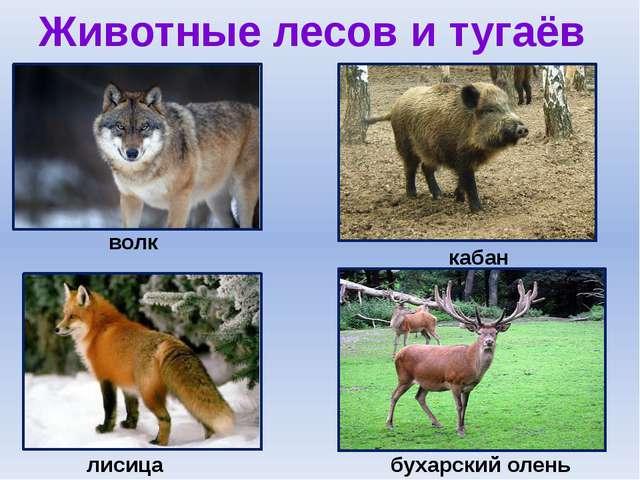 Животные лесов и тугаёв волк кабан бухарский олень лисица