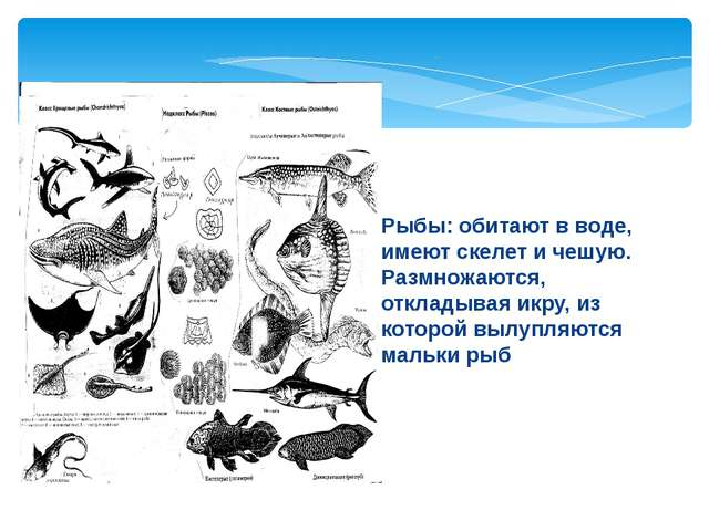Рыбы: обитают в воде, имеют скелет и чешую. Размножаются, откладывая икру, из...