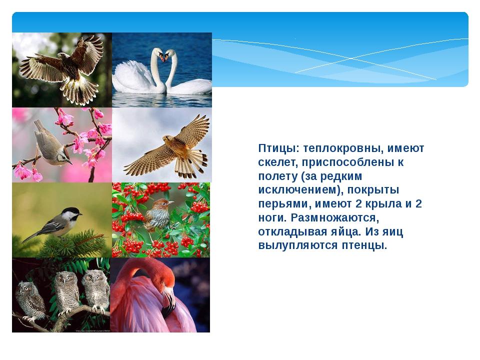 Птицы: теплокровны, имеют скелет, приспособлены к полету (за редким исключени...