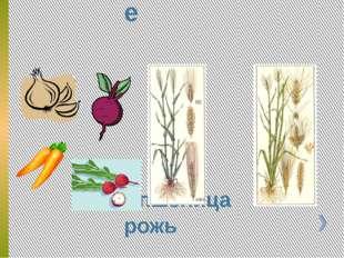 Холодостойкие пшеница рожь