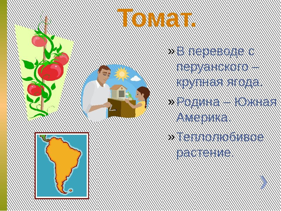 Томат. В переводе с перуанского – крупная ягода. Родина – Южная Америка. Теп...