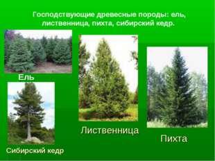 Господствующие древесные породы: ель, лиственница, пихта, сибирский кедр. Ель