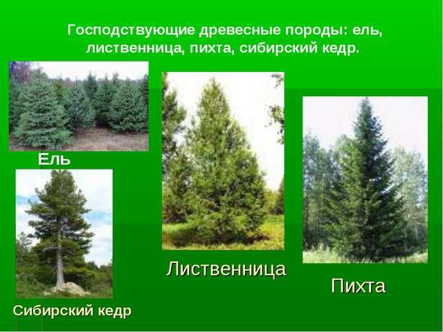 Господствующие древесные породы: ель, лиственница, пихта, сибирский кедр. Ель...