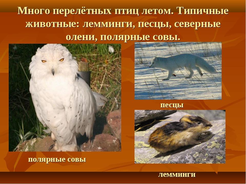 Много перелётных птиц летом. Типичные животные: лемминги, песцы, северные оле...