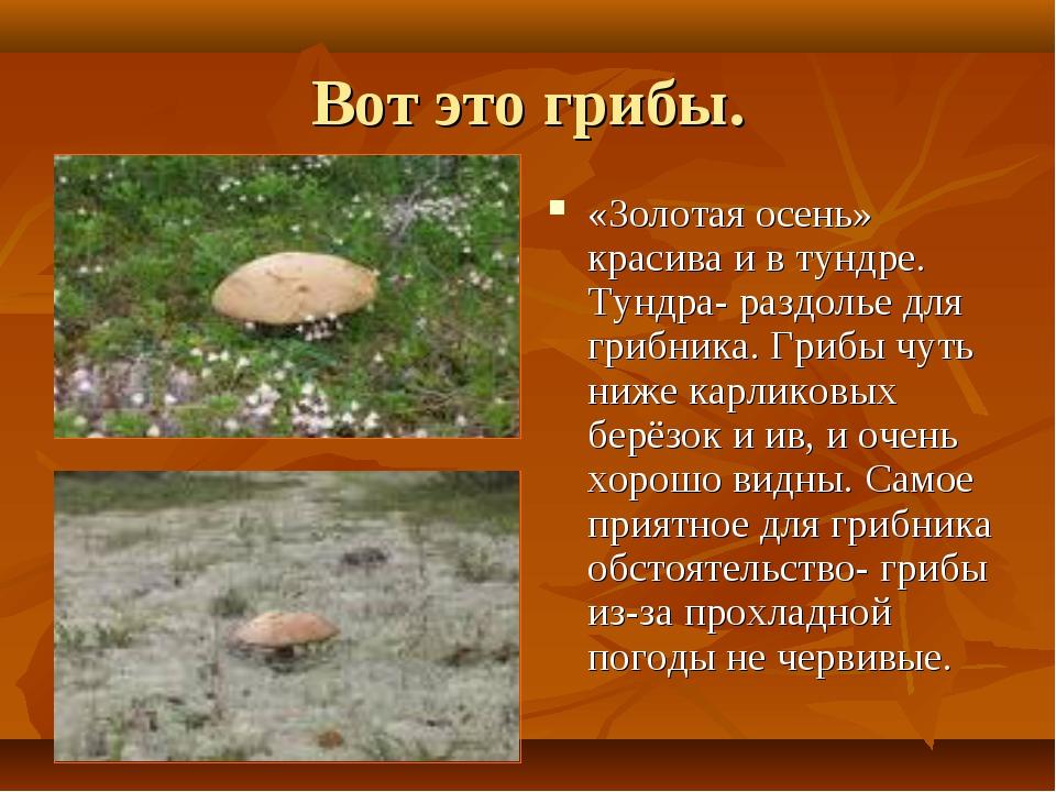 Вот это грибы. «Золотая осень» красива и в тундре. Тундра- раздолье для грибн...