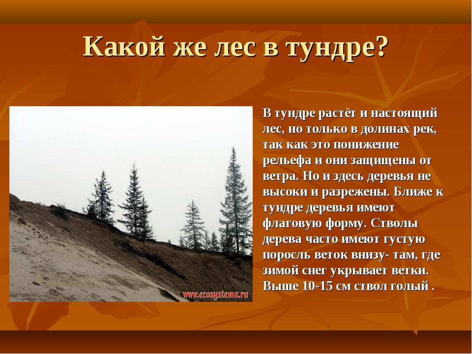 Какой же лес в тундре? В тундре растёт и настоящий лес, но только в долинах р...