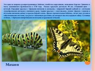Это одна из широко распространенных бабочек семейства парусников, названная К