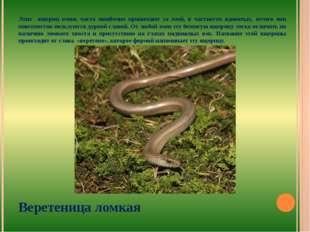 Этих ящериц очень часто ошибочно принимают за змей, в частности ядовитых, отч