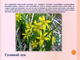 Это луковичное многолетнее растение сем. лилейных. Растение светолюбивое холо