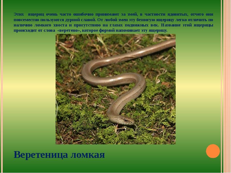 Этих ящериц очень часто ошибочно принимают за змей, в частности ядовитых, отч...