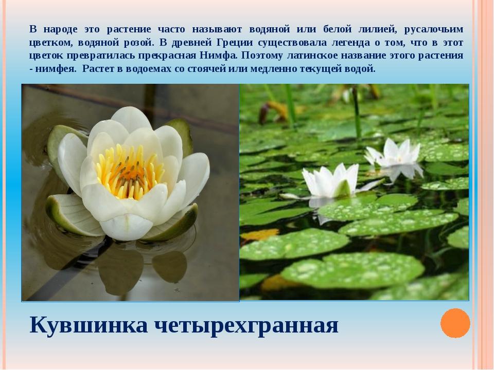 В народе это растение часто называют водяной или белой лилией, русалочьим цве...