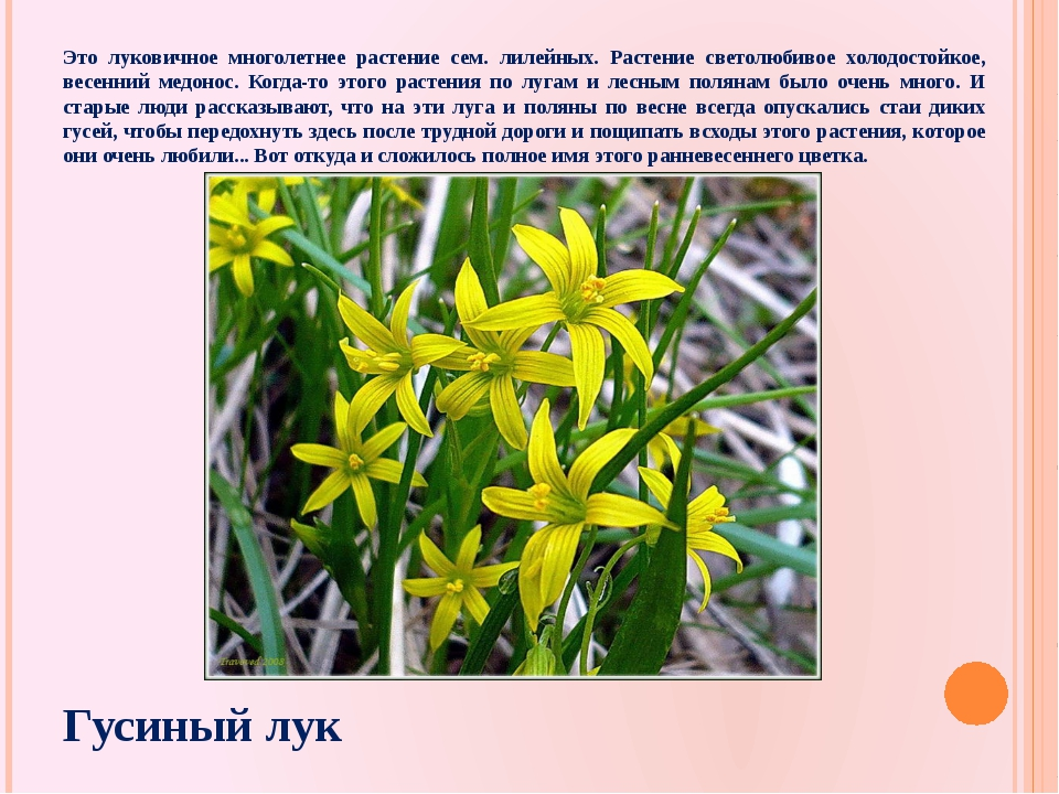 Это луковичное многолетнее растение сем. лилейных. Растение светолюбивое холо...