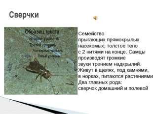 Сверчки Семейство прыгающих прямокрылых насекомых; толстое тело с 2 нитями на