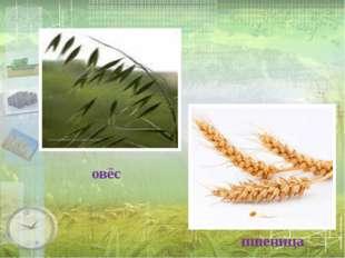 овёс пшеница