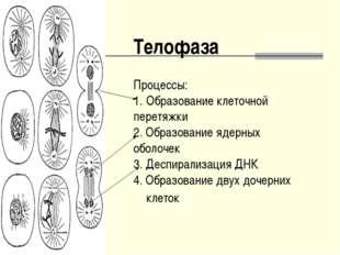 Телофаза Процессы: Образование клеточной перетяжки 2. Образование ядерных обо