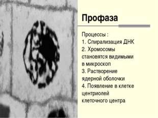 Профаза Процессы : Спирализация ДНК Хромосомы становятся видимыми в микроскоп