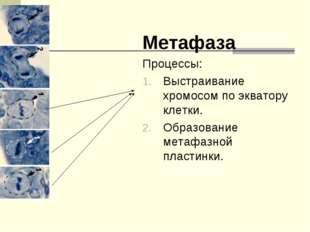 Метафаза Процессы: Выстраивание хромосом по экватору клетки. Образование мета