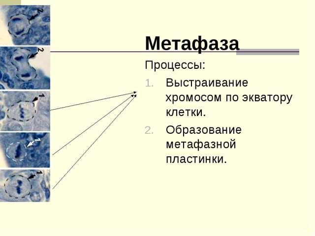 Метафаза Процессы: Выстраивание хромосом по экватору клетки. Образование мета...