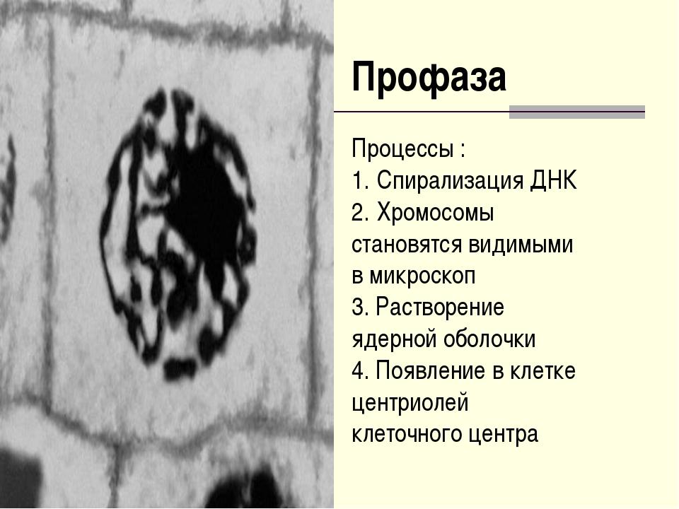 Профаза Процессы : Спирализация ДНК Хромосомы становятся видимыми в микроскоп...