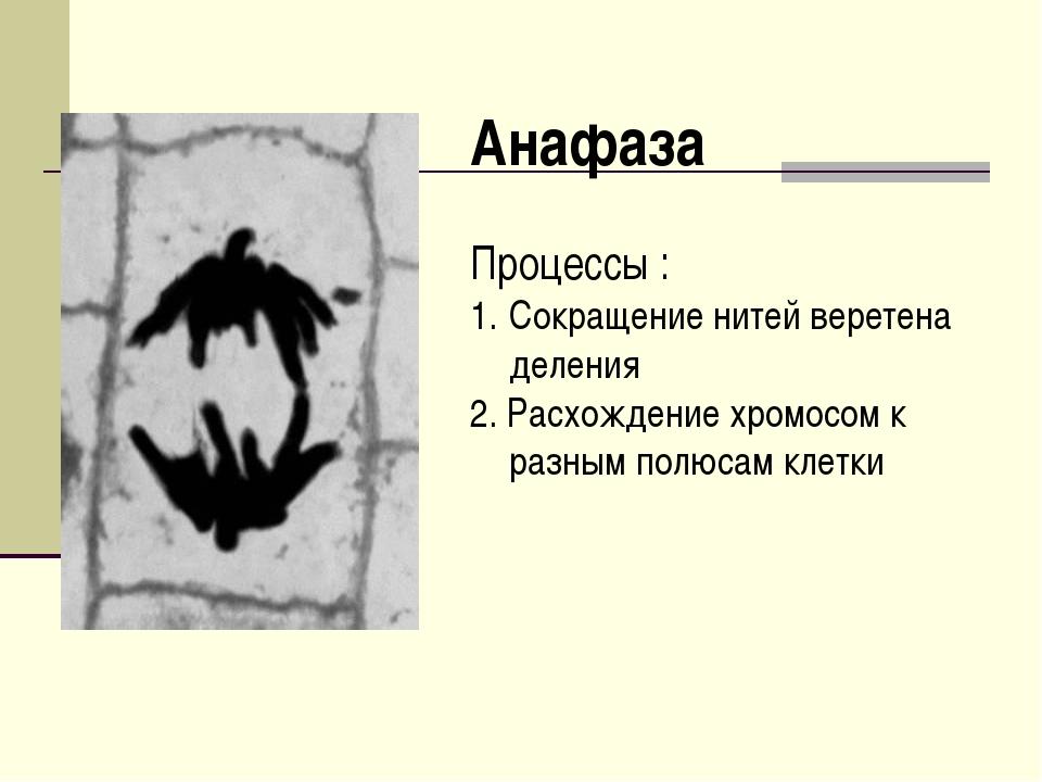 Анафаза Процессы : Сокращение нитей веретена деления 2. Расхождение хромосом...