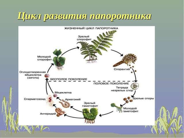 Цикл развития папоротника
