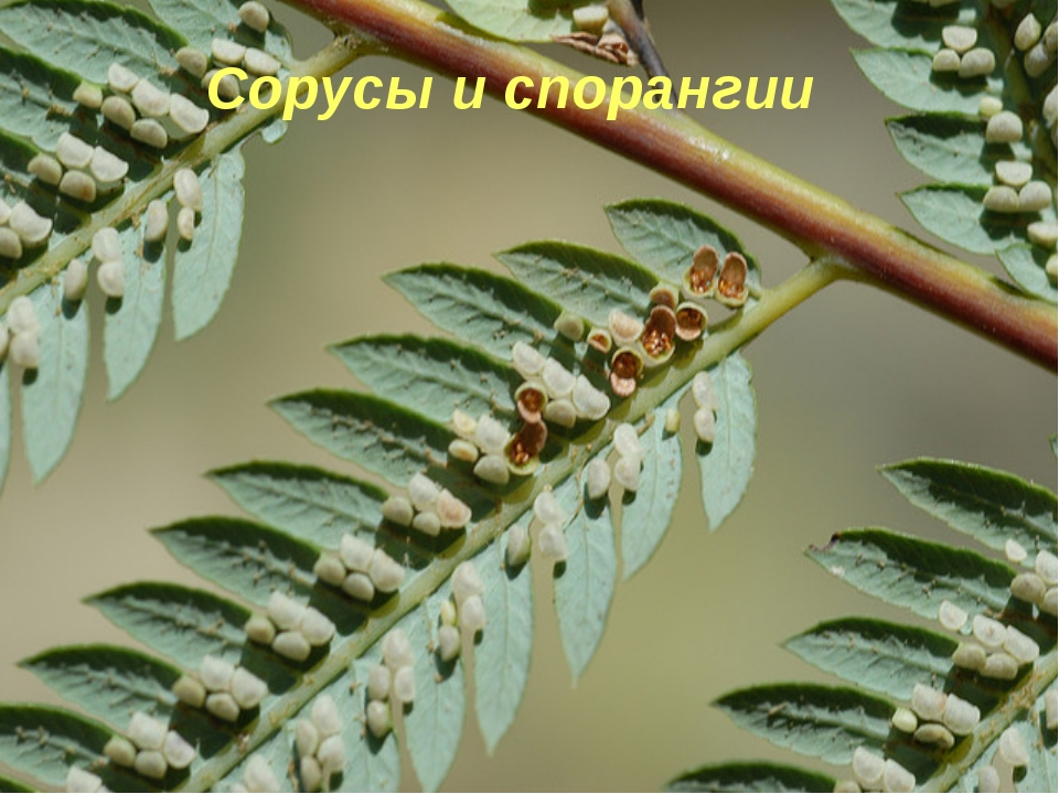 ,Сорусы папоротника Заросток папоротника Сорусы и спорангии