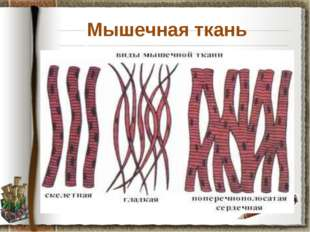 Мышечная ткань Задание: используя материал учебника на странице 30, установит