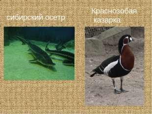 сибирский осетр Краснозобая казарка