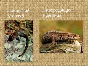 сибирский углозуб Живородящая ящерица